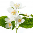 Jasmine flowers. - Stock Photo