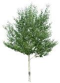 Birch tree. — Stock Photo