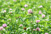 The field of clover flowers. — Stock Photo