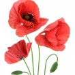 Stock Photo: Beautiful red poppies isolated on white background.