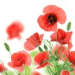 Royalty-Free Stock Photo: Beautiful red poppies isolated on a white background.