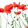 Poppy flowers — Stockfoto