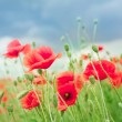 Field of wild poppy flowers. — Photo