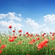 Field of wild poppy flowers. — Foto Stock