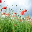 Field of wild poppy flowers. - Stock Photo