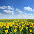 Sunflower field. — Stock Photo #6040783