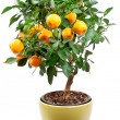 Stock Photo: Small tangerines tree
