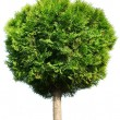 Thuja tree - Stock Photo