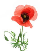 One beautiful red poppy. — Stock Photo