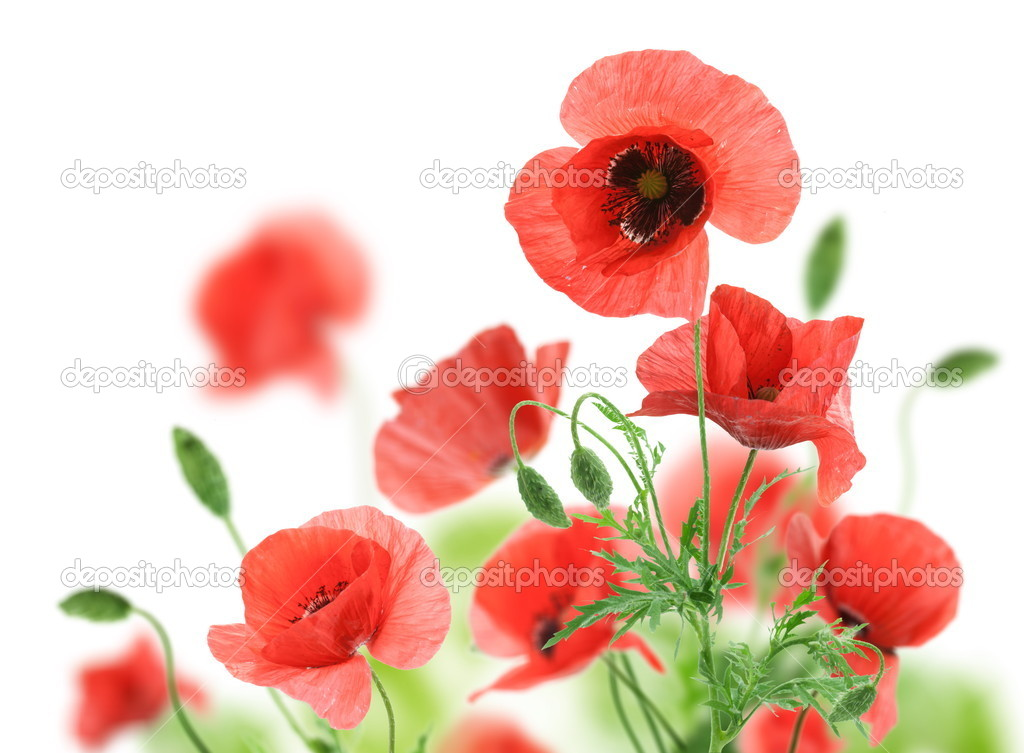 Beautiful red poppies isolated on a white background. — Stock Photo #6040419