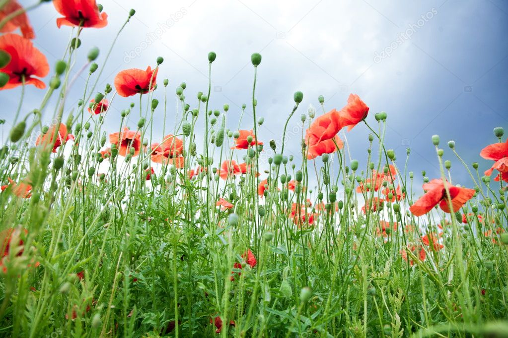 Wild poppy flowers on blue sky background.  — Stock Photo #6040566