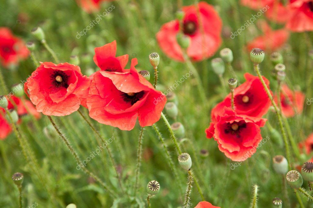 wild poppy flowers on - photo #39