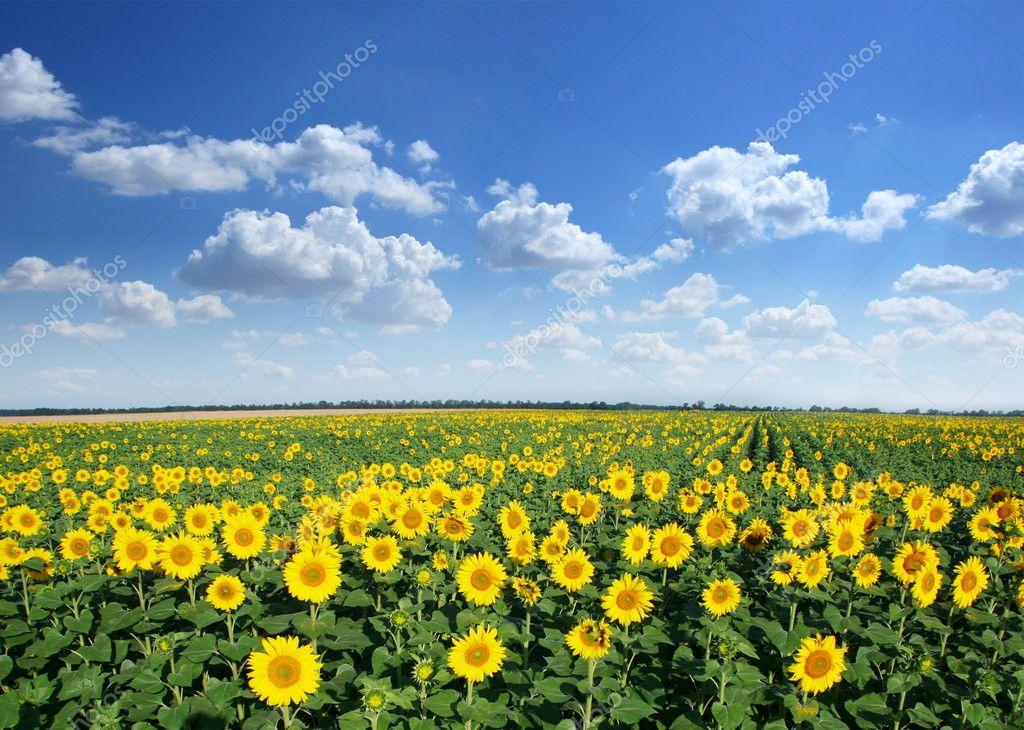 Фотообои Sunflower field.