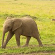 Feisty Young Elephant — Stock Photo #5403043