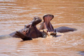 Fighting Hippos — Stock Photo