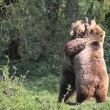 Stock Photo: Brown Bears Fighting