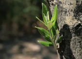 Mediterranean Olive Tree Sprout — Stock Photo