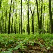 Green forest — Stock Photo #5548894