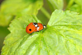 Red ladybug — Stock Photo