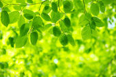 Green leaves — Photo