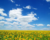 Sunflowers — Стоковое фото