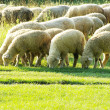 Sheep in meadow - Stock Photo