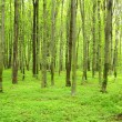 Green forest — Stock Photo #6742916