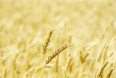 Fält av vete — Stockfoto