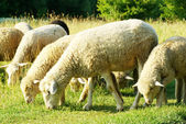 Sheep in meadow — Stock Photo