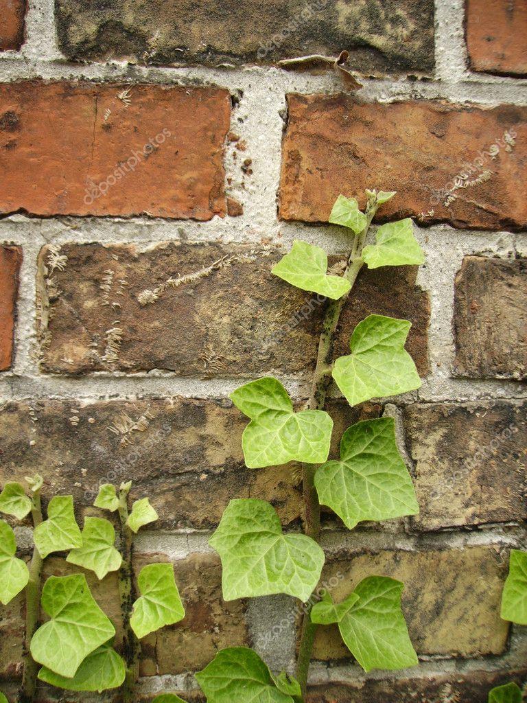 le jeune lierre s 39 accroche un mur de briques. Black Bedroom Furniture Sets. Home Design Ideas