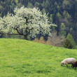 Sheep on a mountain pasture — Stock Photo