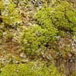 Stock Photo: Moss and lichen in spring wood