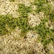 Photo: Moss sphagnum in spring wood