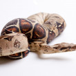 Dangerous snake — Stock Photo
