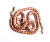 Couple of corn snakes — Stock Photo