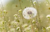 Pratal dandelion — Stock Photo