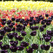 Stock Photo: Violet,red,yellow tulips