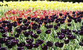 Violet,red,yellow tulips — Stock Photo