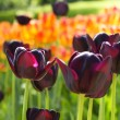 Violet tulips on flowerbed — Stock Photo