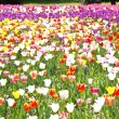 Varicoloured tulips — Stock Photo