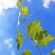Grape vine leaf over cloudy sky — Stock Photo #6428886