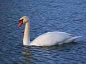 Mute Swan (Cygnus olor) - Illinois — Stock Photo