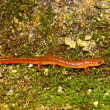 Southern Two-lined Salamander (Eurycea cirrigera) — Stock Photo