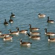 Canada Geese (Branta canadensis) — Stock Photo