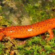 Red Salamander (Pseudotriton ruber) — Stock Photo