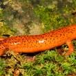 Red Salamander (Pseudotriton ruber) — Stock Photo