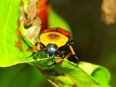 Flower Beetle - Queensland — Stock Photo
