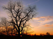 Oak Tree Silhouette — Stock Photo