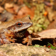 Stock Photo: Spring Peeper (Pseudacris crucifer)