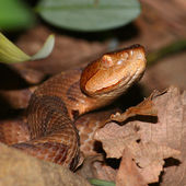 Copperhead Snake (Agkistrodon contortrix) — Stock Photo